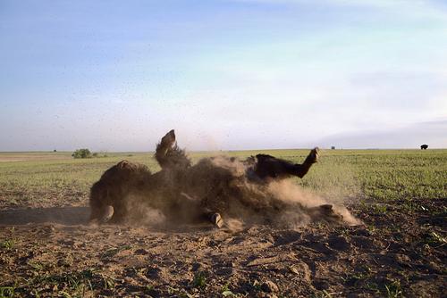 bison_Overall%20Winner%20-%20Demetria%20Stephens.JPG